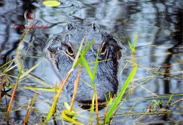 Fort Lauderdale – Everglades Airboat Tour and Alligator Show